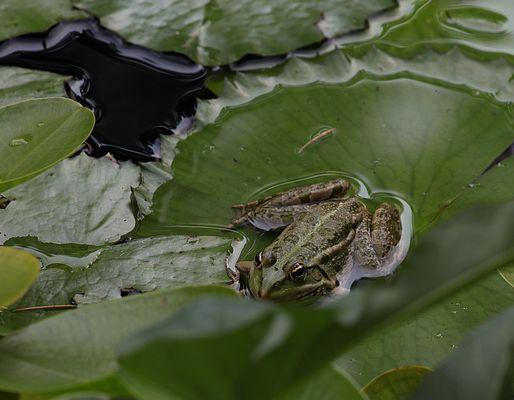 Der Frosch in grün ..