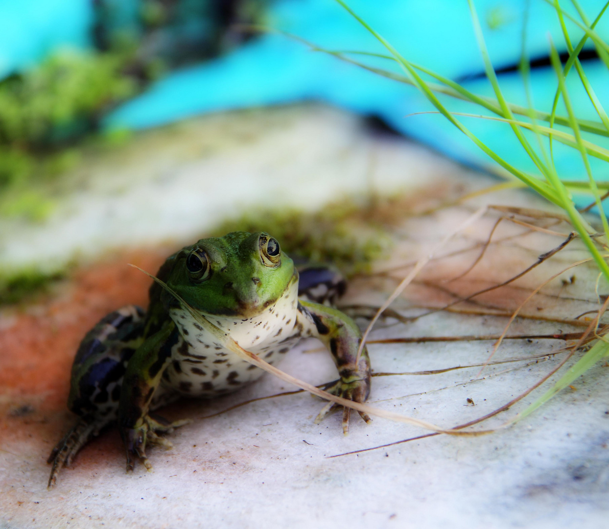 Der Frosch in meinem Teich