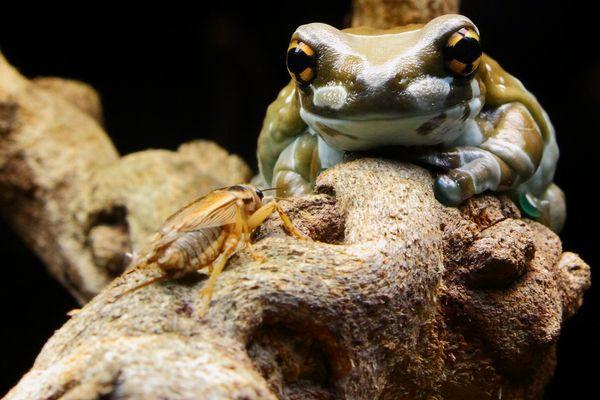 Der Frosch und die Grille!