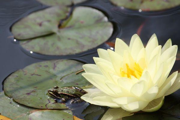 Der Frosch und die Seerose