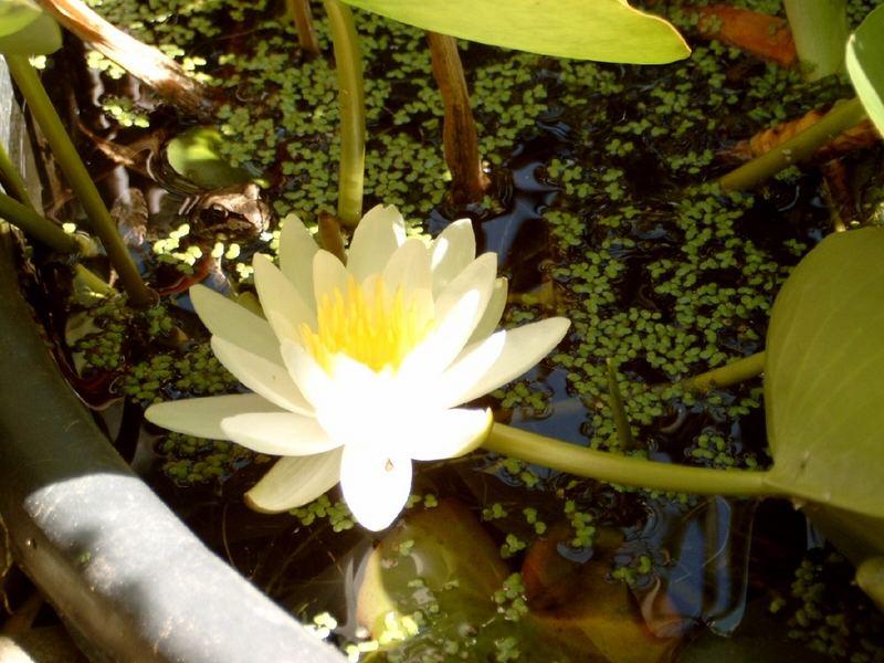 Der Frosch und die Teichrose