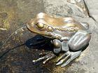 Der Froschkönig ohne Krone