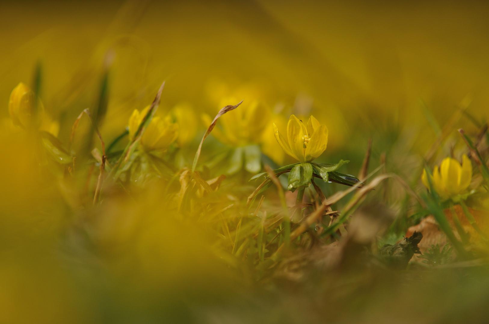 Der Frühling grüßt in Gelb