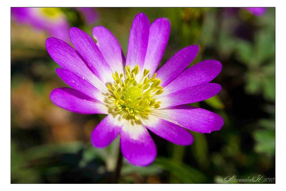 Der Frühling in lila
