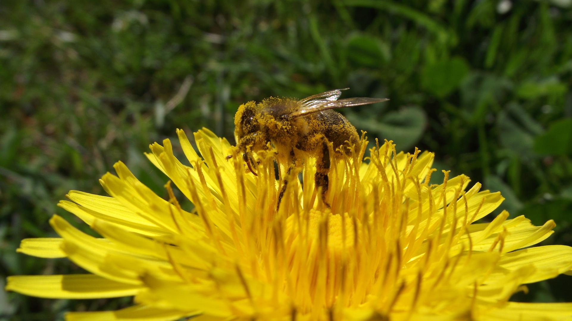 Der Frühling ist da, findet auch diese Biene