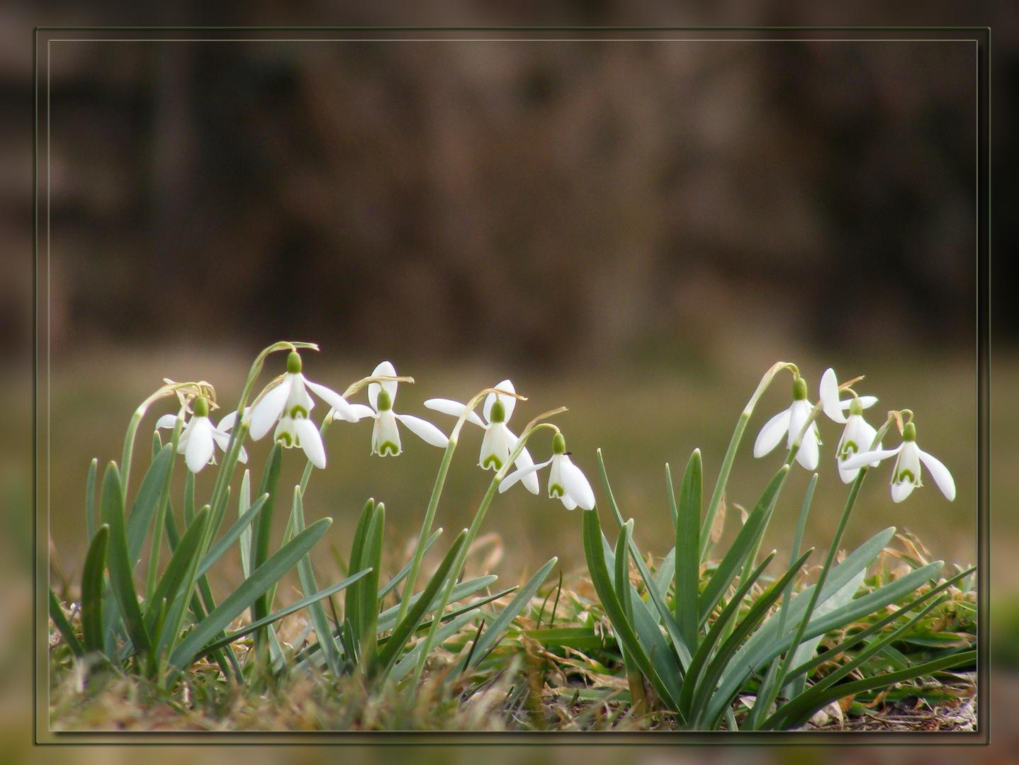 Der Frühling ist da - Schneeglöckchen