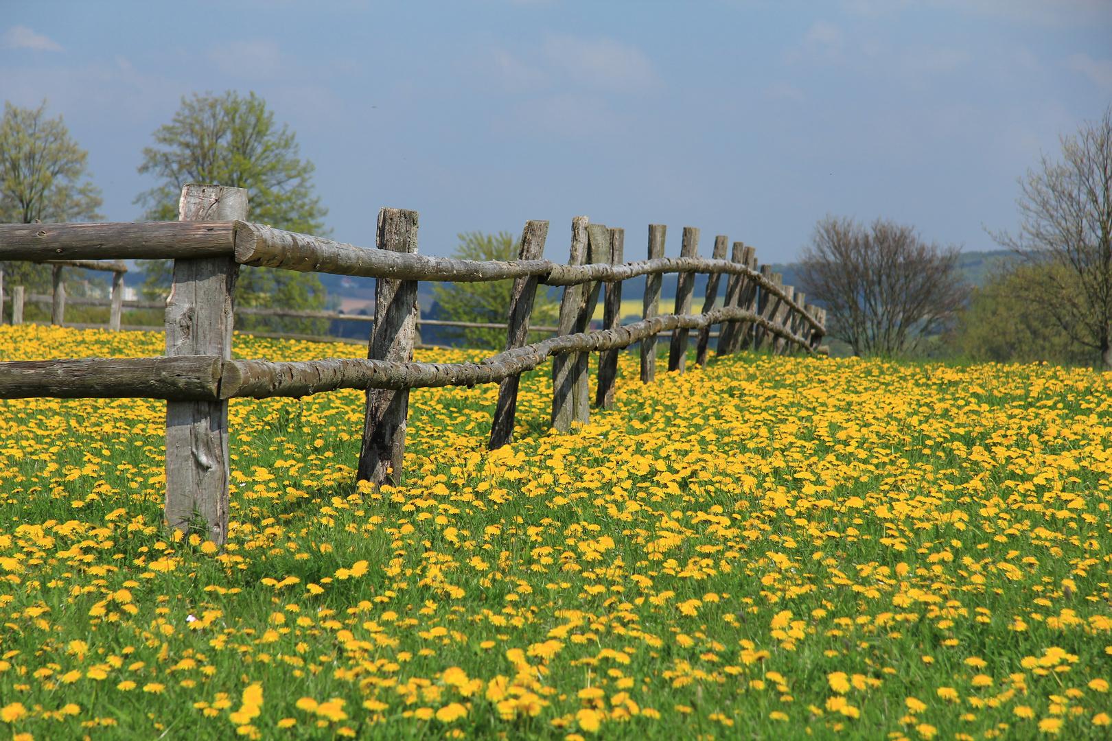 Der Frühling ist gelb