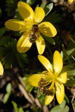 Der Frühling kommt, die Bienen schwärmen