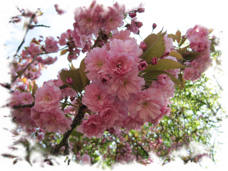 der Frühling mit seinen herrlichen Blüten