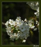 Der Frühling tanzt II