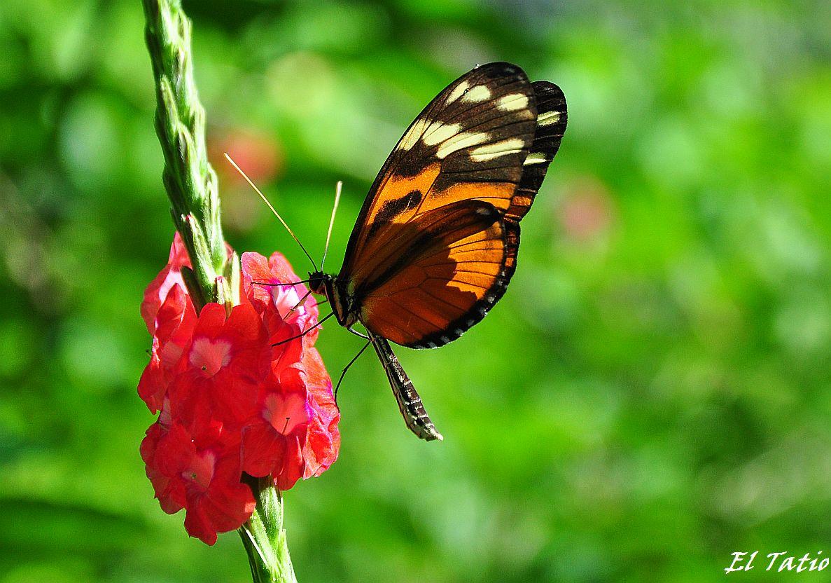 Der Frühlingsbote Schmetterling in Costa Rica
