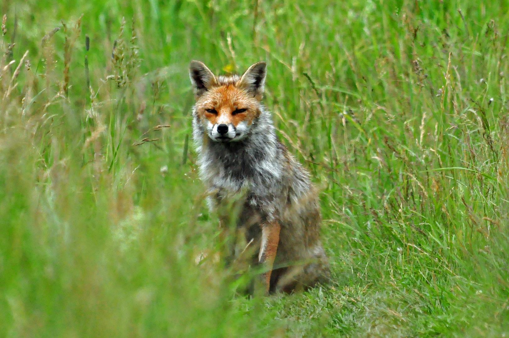 Der Fuchs auf dem Schöpfungspfad 2