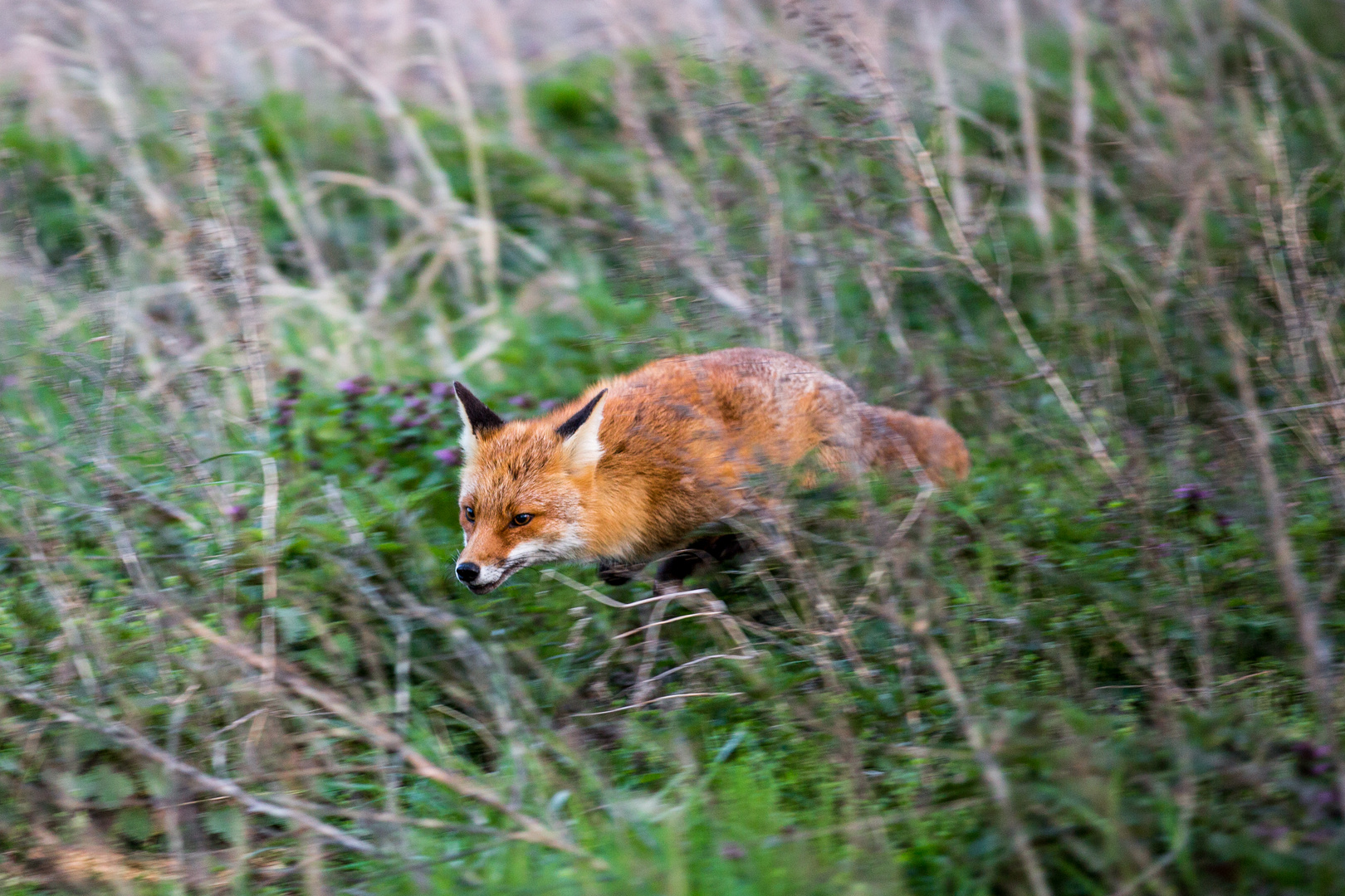 der Fuchs auf der Flucht