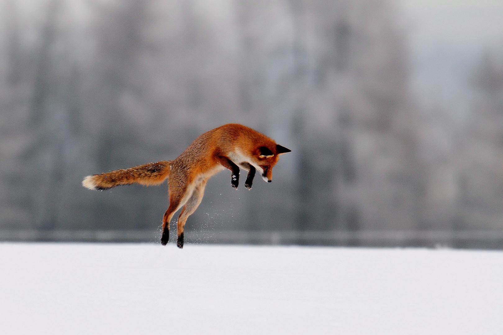 Der Fuchs hat eine Maus im Schnee lokalisiert und springt sie zielsicher an