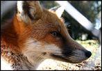 Der Fuchs hinter dem Zaun