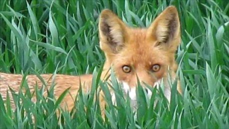 der Fuchs im saftigen Grün