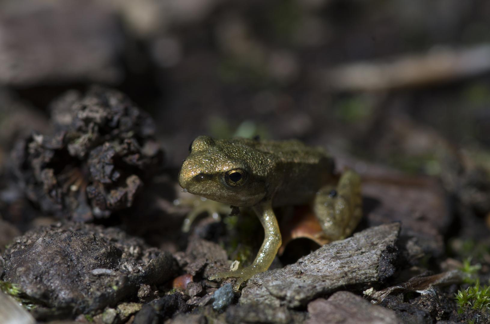 Der ganz große kleine Frosch