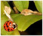 Der gedeckte Tisch - für den Asiatischen Marienkäfer