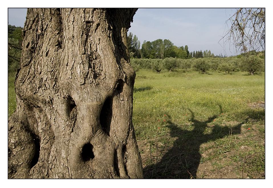 Der Geist des Olivenbaumes...