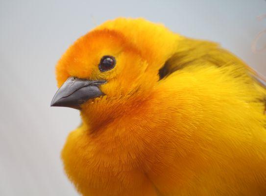 der Gelbe