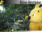 Der gelbe Bär Bild Lexikon - Blüten-Bärstäuber