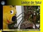 Der gelbe Bär Naturlexikon - Bananenfalter