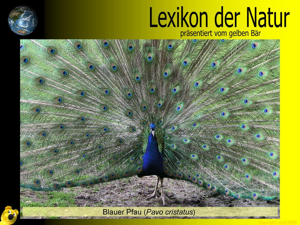Der gelbe Bär Naturlexikon - Blauer Pfau