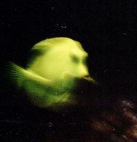 der gelbe Fisch