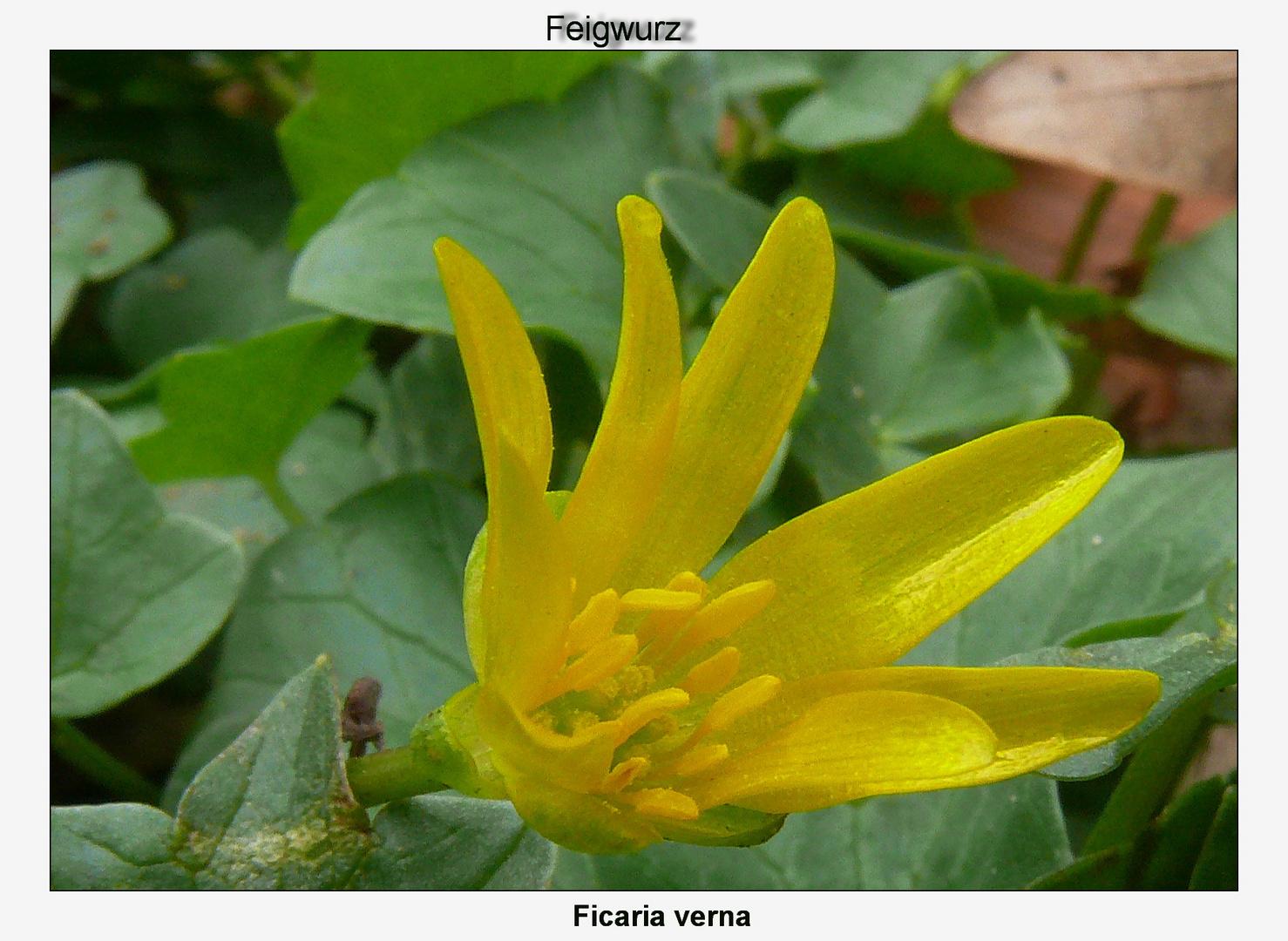 Der gelbe Frühlings Bote