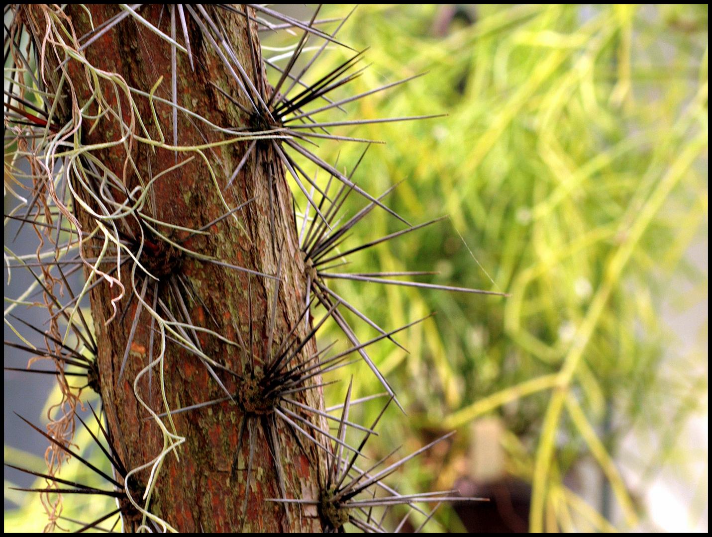 Der gemeine Seeigel-Baum :-)  Botanischer Garten der Ruhr-Uni Bochum - 5 -