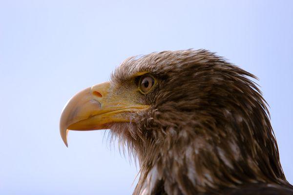der gemeine Vogel Greif