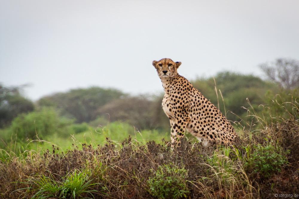 Der Gepard 2