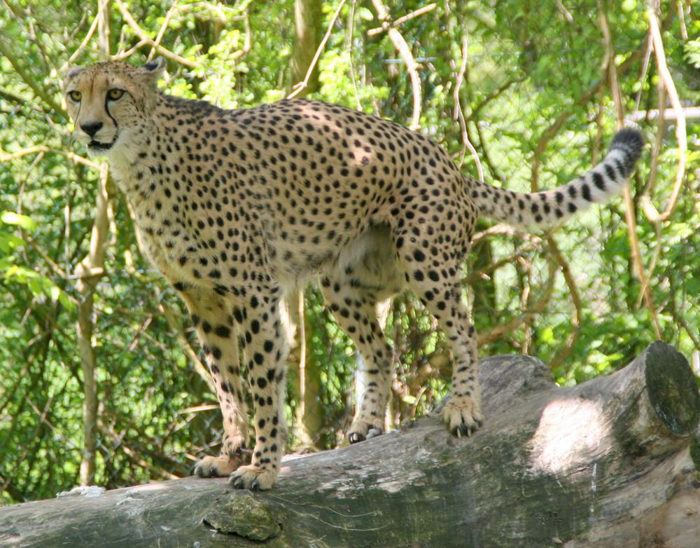 Der Gepard II