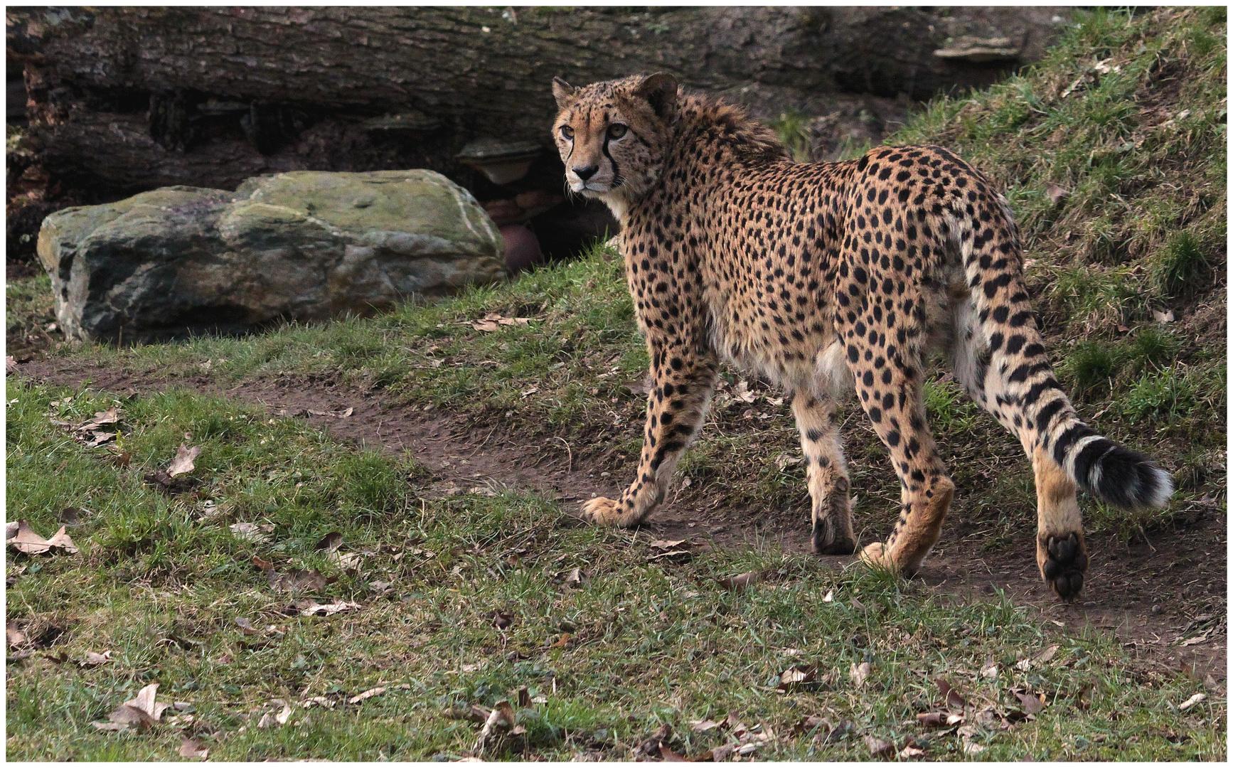 Der Gepard im Kölner Zoo hatte es sehr eilig ...