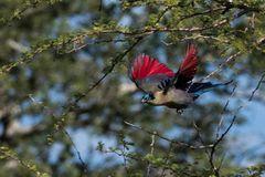 Der Glanzhaubenturako zeigt das Gefieder der Flügelunterseiten