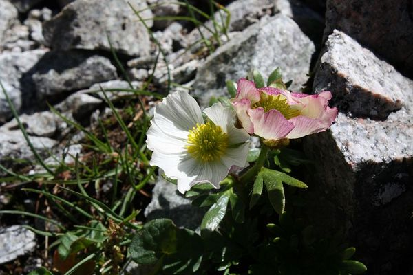 Der Gletscher-Hahnenfuß (Ranunculus glacialis)...