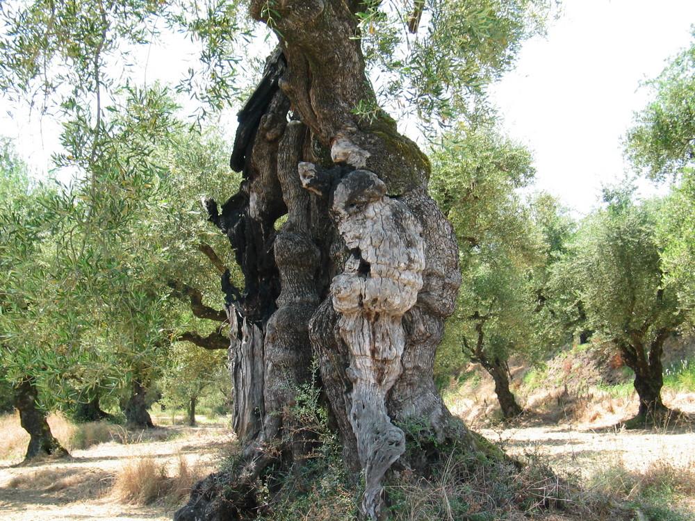 der Gollum-Baum