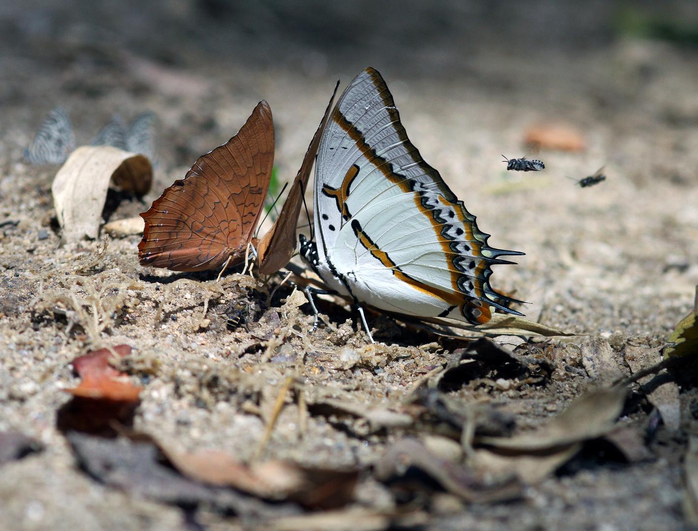 Der gosse Nawab Schmetterling