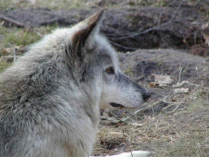 Der graue Wolf ...