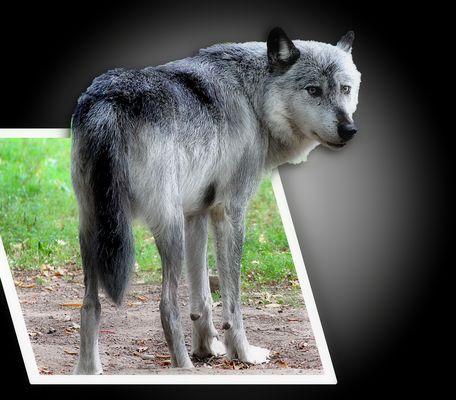 Der Grauwolf / Le Loup gris