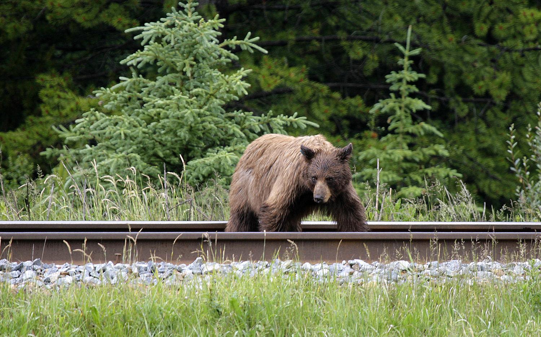 Der Grizzly