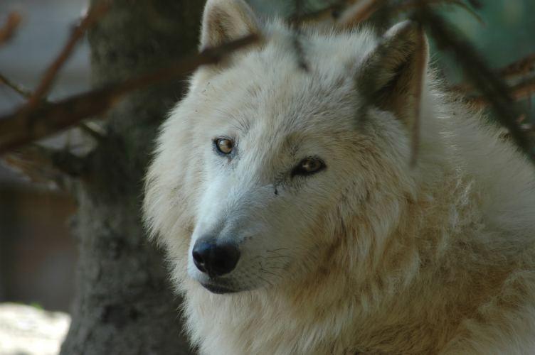 Der grosse böse Wolf??????