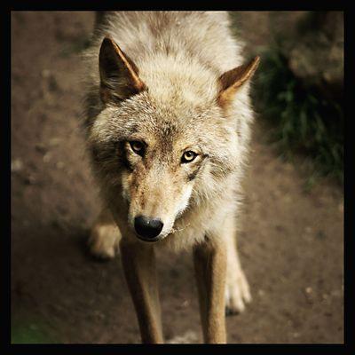 Der grosse böse Wolf