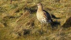 der Große Brachvogel (Numenius arquata)...