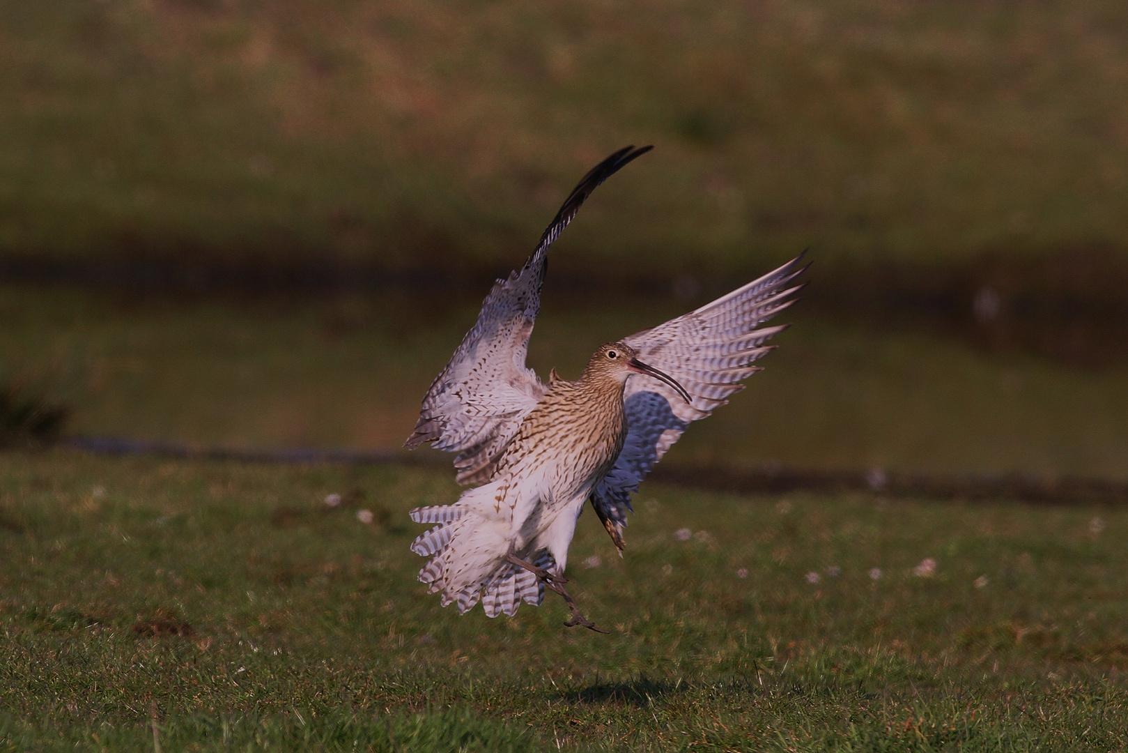 der Große Brachvogel vor der Landung