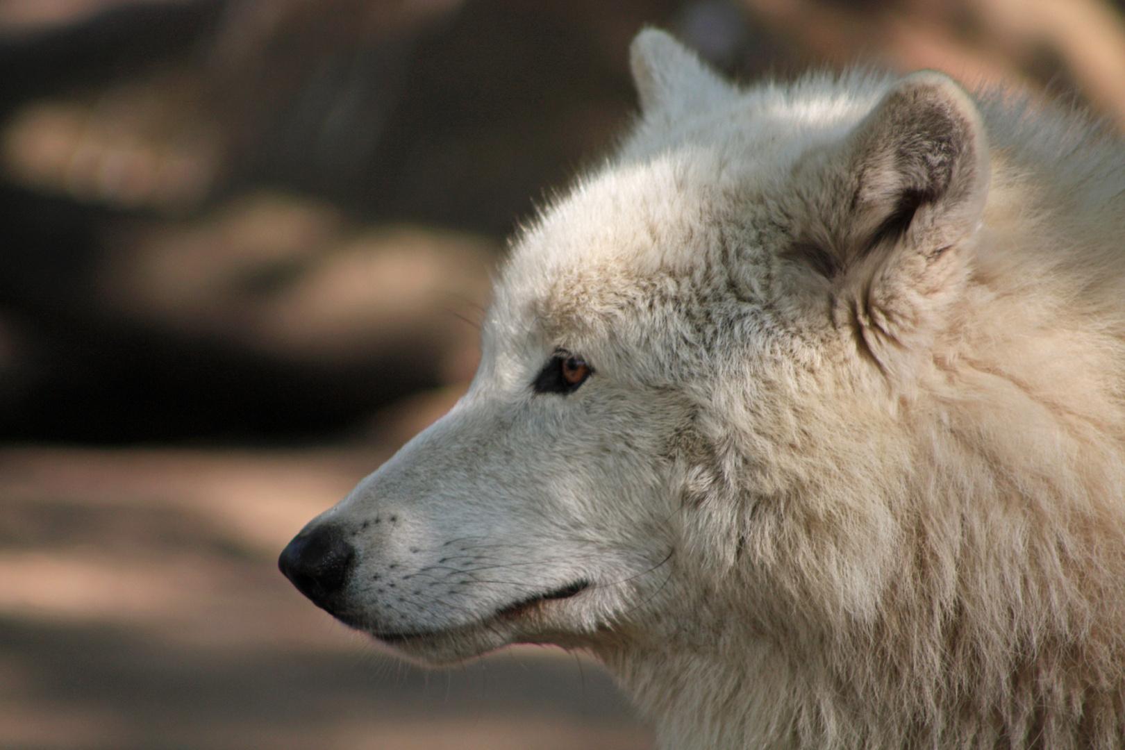 Der grosse flauschige Wolf