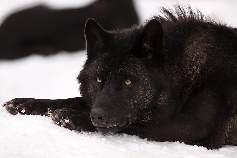 der große Wolf