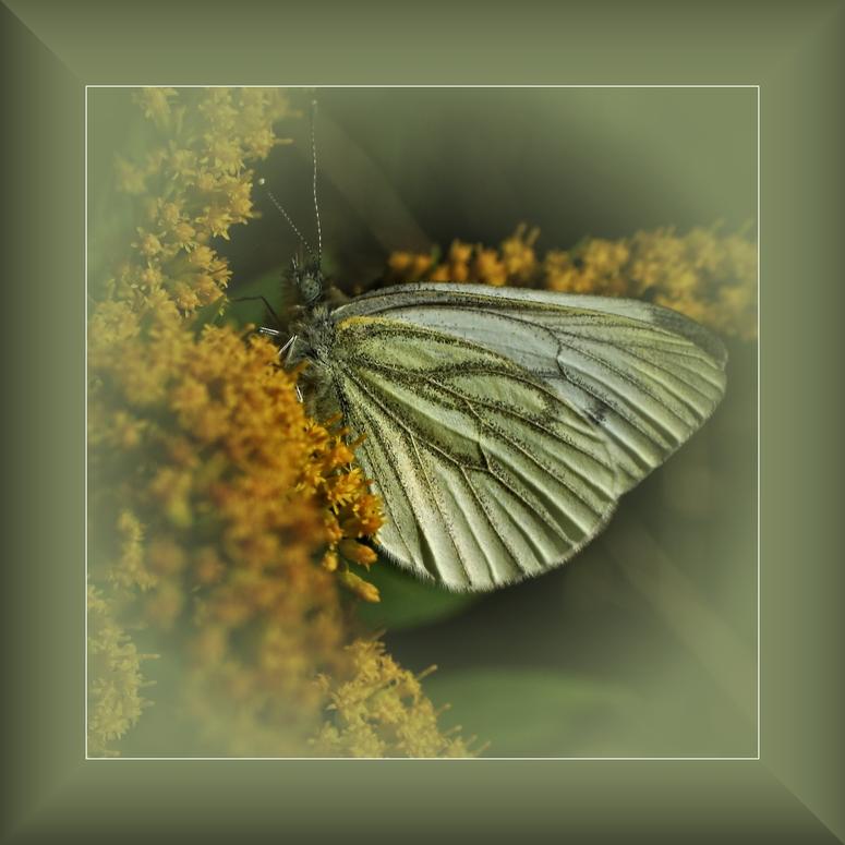 Der Grünader-Weißling.......