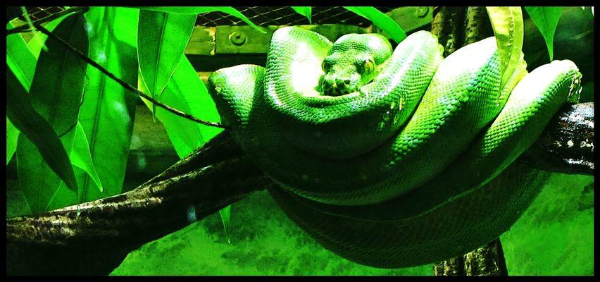 Der Grüne Baumpython ist eine der schönsten Schlangen in der Terraristik.