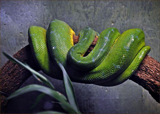 Der Grüne Baumpython tut nix